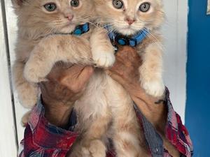 Ragdoll Kittens for sale | Kitten Ads