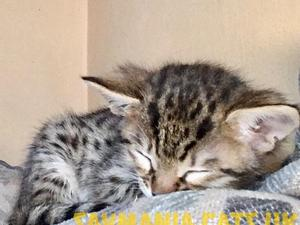 Savannah Kittens for sale | Kitten Ads