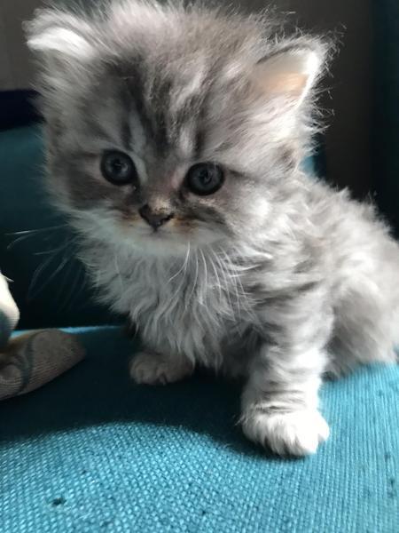 Moobocatz Shorthair Longhair Kittens For Sale In Kitten Ads