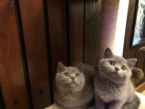 British Shorthair Kittens for sale | Kitten Ads