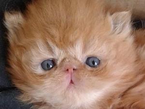 Persian Kittens for sale   Kitten Ads