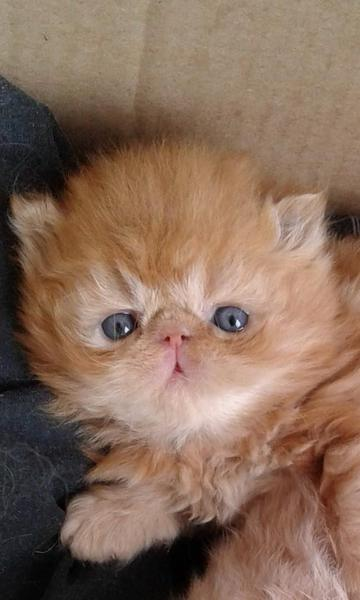 Registered, Persian kittens, Males and Females  READY MID