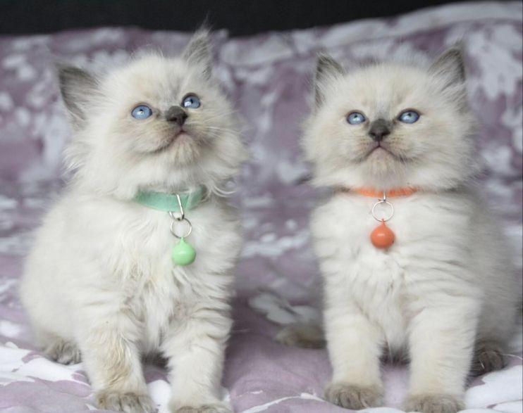 Seal Ragdoll Kitten for sale in Solihull | Kitten Ads