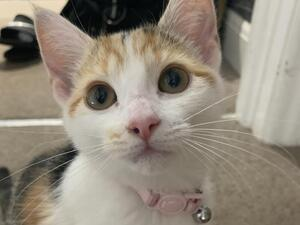 Cats And Kittens For Sale In Lowestoft Pets4homes