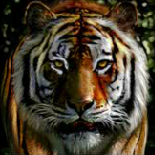 play Untamed Bengal Tiger for real money
