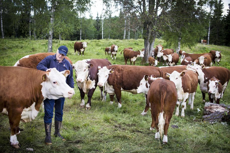 Les Gilde utvalgte norske kjøttfe