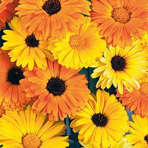 Ringblomma - Daisy citrus mix