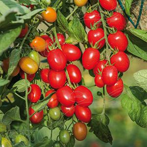 Tomat , Ampel - Romello F1
