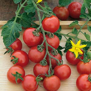 Tomat_Hög_gardeners_delight
