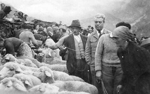 Mesocco - Ripartizione delle pecore scese dall'Alpe