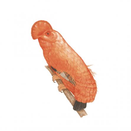 Guianan Cock-of-the-rock Ryuto Miyake