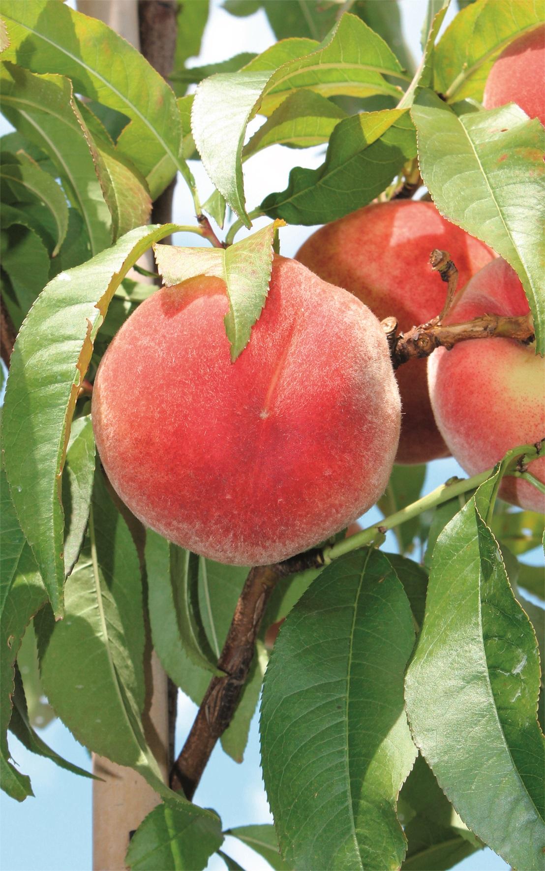 Obst Pfirsiche und Nektarinen Wohnen