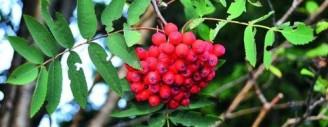 Die leuchtend roten Beeren des Vogelbeerbaums (Eberesche) sind beliebte Futterhecken für Vögel. (Bild www.meier-ag.ch)