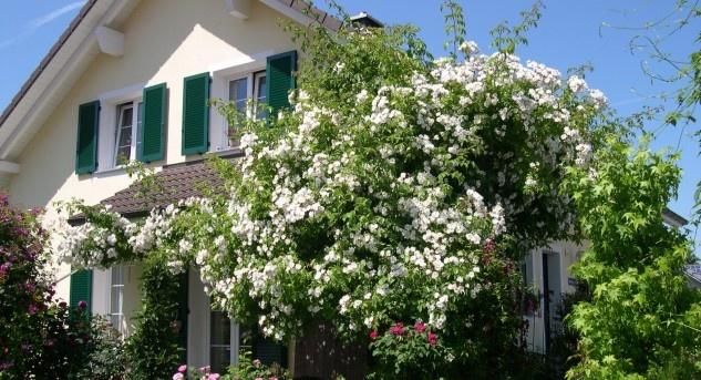 Die Kletterrose Bobby James kann bis zu 5 Metern hoch werden und erinnert mit ihrem Duft an wilde Rosen. Bild © www.hauenstein-rafz.ch