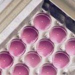 Insphero Zellkulturen, micro tissues genannt. (Insphero)