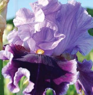 How To Grow Irises Claire Austin
