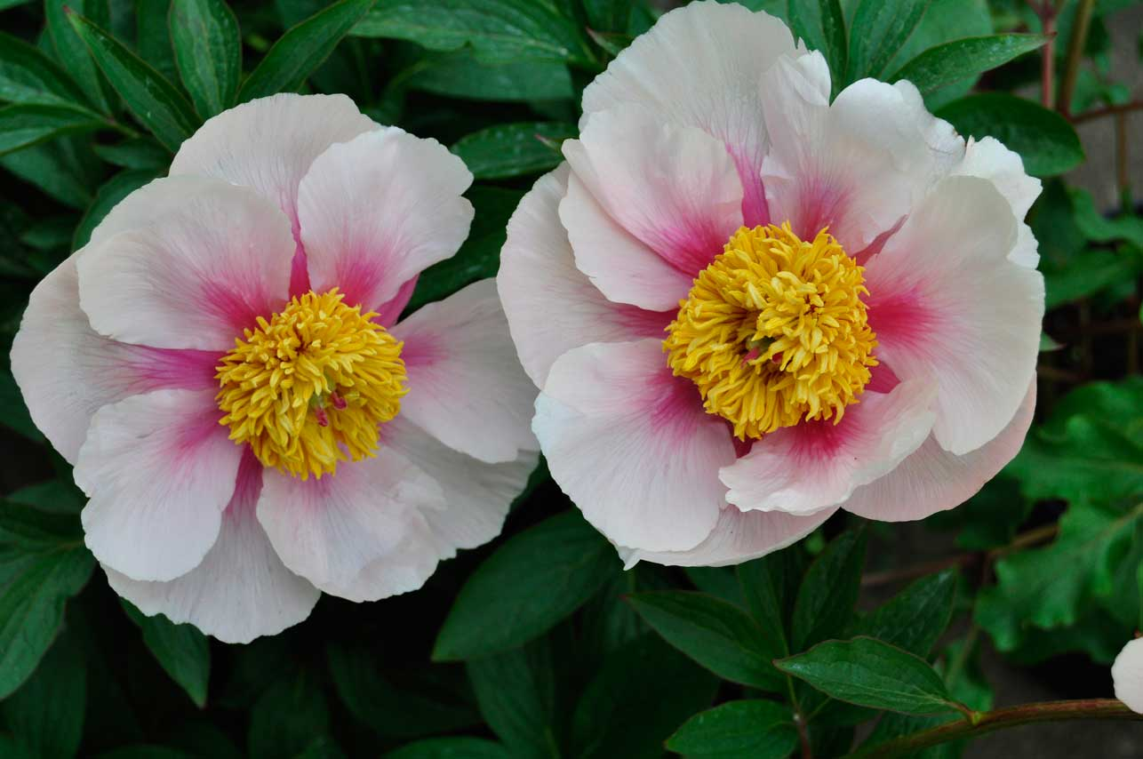 https://s3-eu-west-1.amazonaws.com/legacy.claireaustin-hardyplants.co.uk/peony/peony-anthena1.jpg