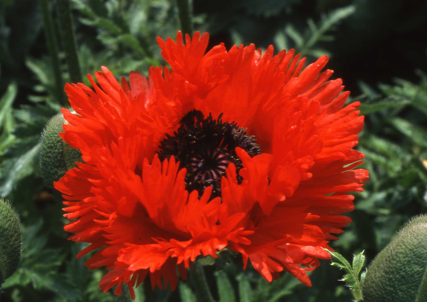 Turkenlouis produces the most intense scarlet red flowers each
