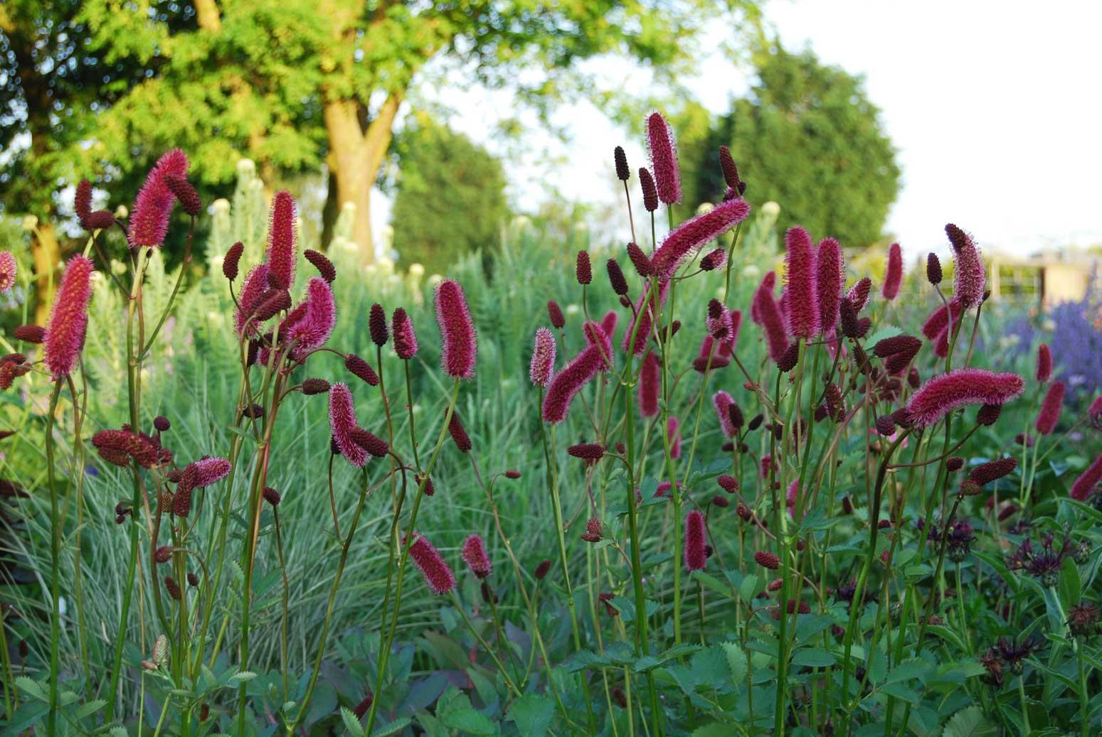 Sanguisorbas claire austin sanguisorba menziesii flowers mightylinksfo