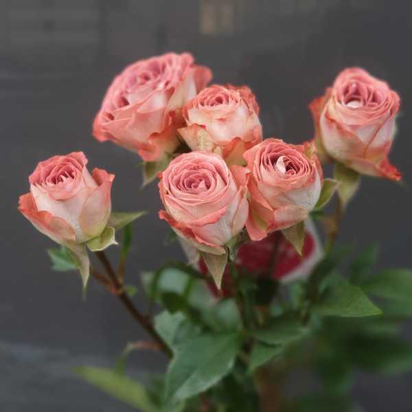 Кустовая роза капучино