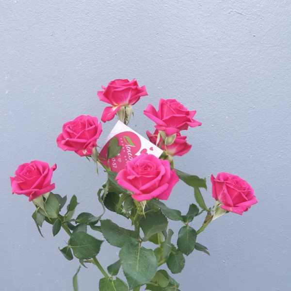 Роза кустовая Куинси (Quincy)