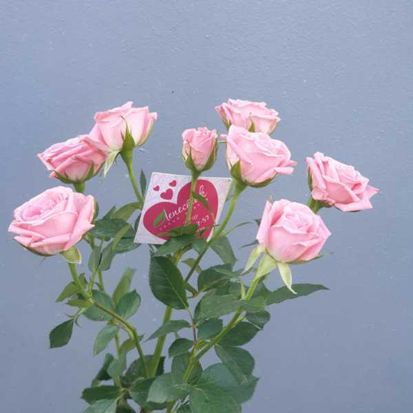 Кустовая роза Лидия