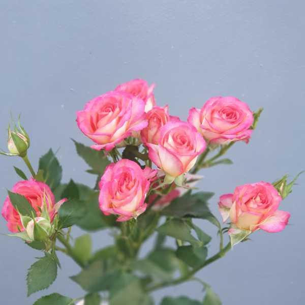 Кустовая роза Summer Dance (Саммер Дэнс)
