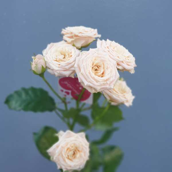 Кустовая роза Жустин (Justine)