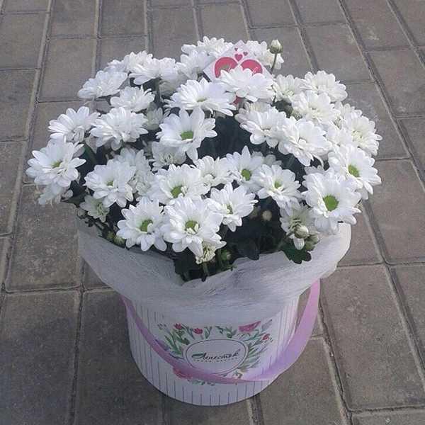 Цилиндр с белой хризантемой