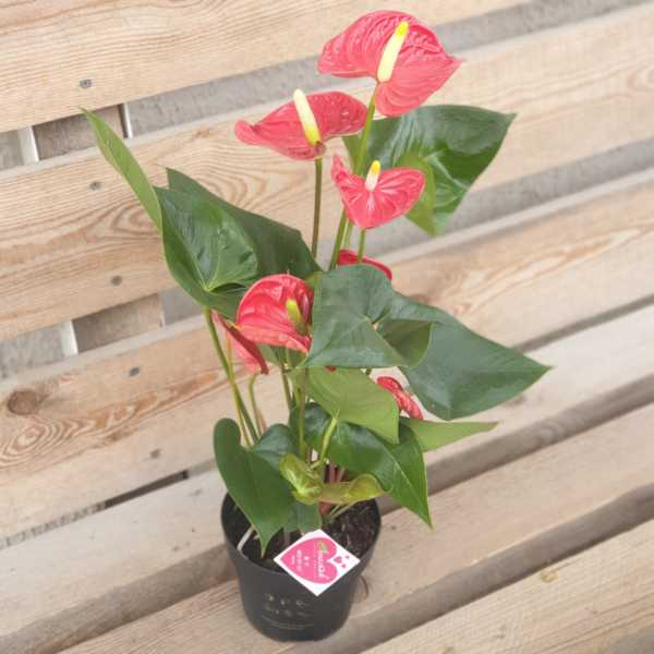 Антуриум красный в горшке(14 см)