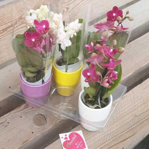Орхидея фаленопсис (мини)