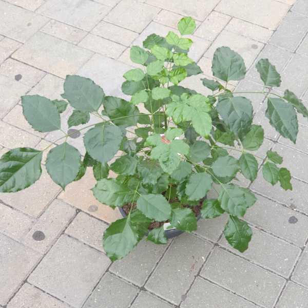 Радермахера (Radermachera)