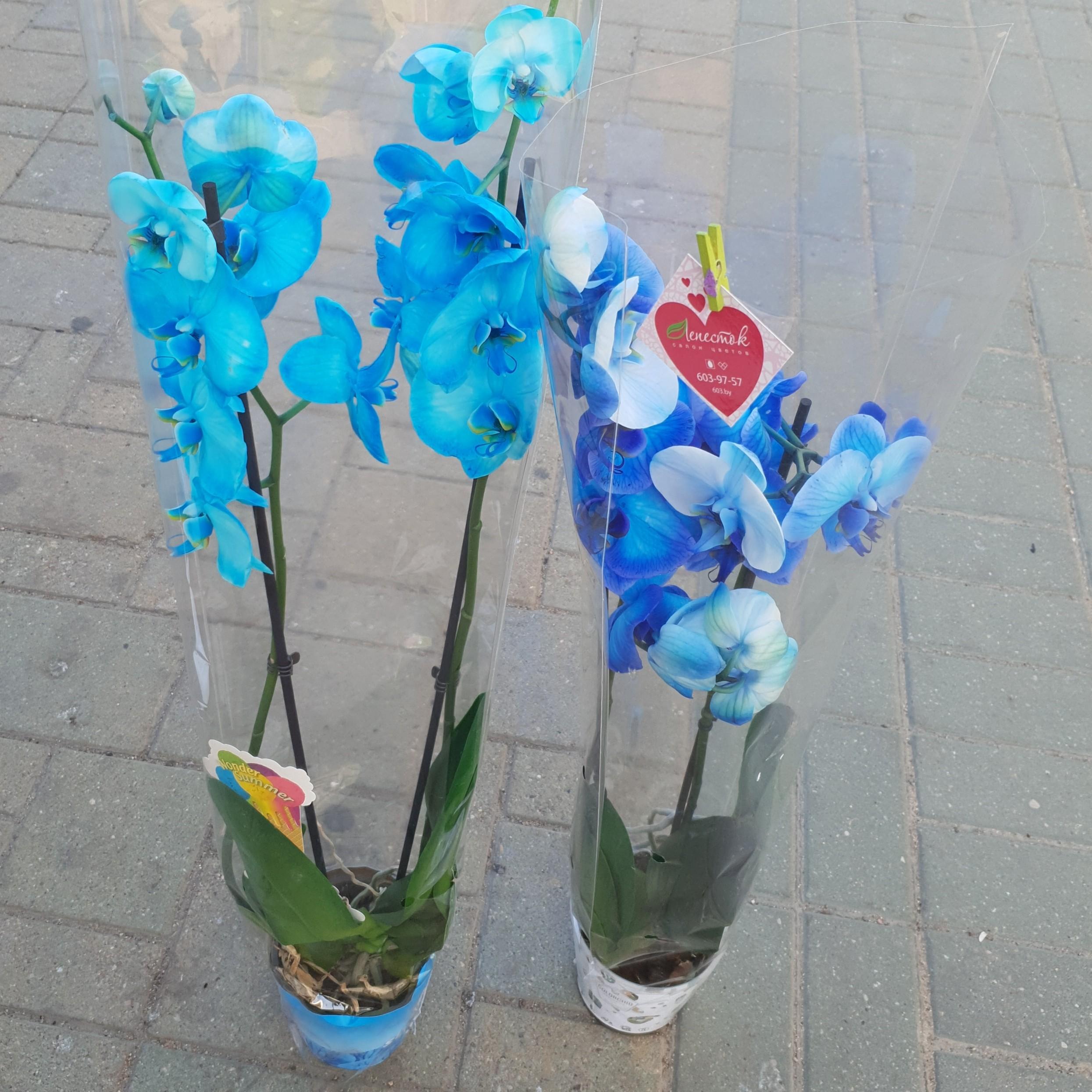 Орхидея Фаленопсис (Синяя)