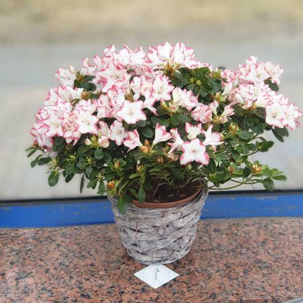 Горшечное растение Азалия в кашпо.
