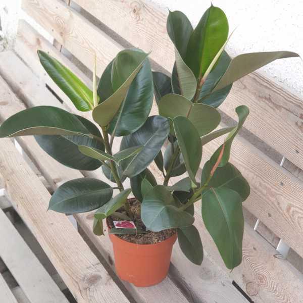 Фикус Робуста (Ficus Robusta) 19 см горшок