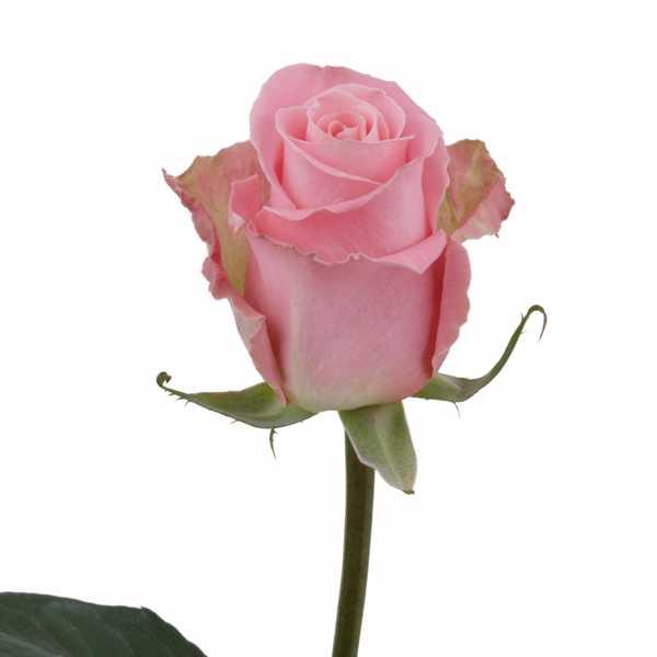 Роза Хермоса (Hermosa) 60 см