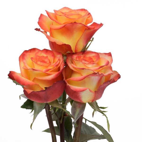 Роза High & Magic 40 см