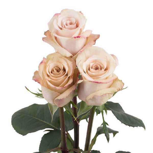 Роза Quicksand 60 см