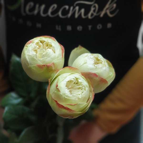 Роза Кхела(Khela) 60 см
