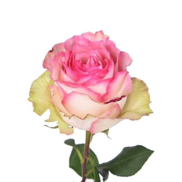 Роза Esperance 60 см