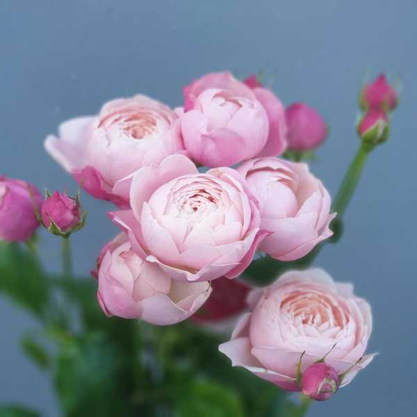 Кустовая пионовидная роза Силва Пинк (Silva Pink)
