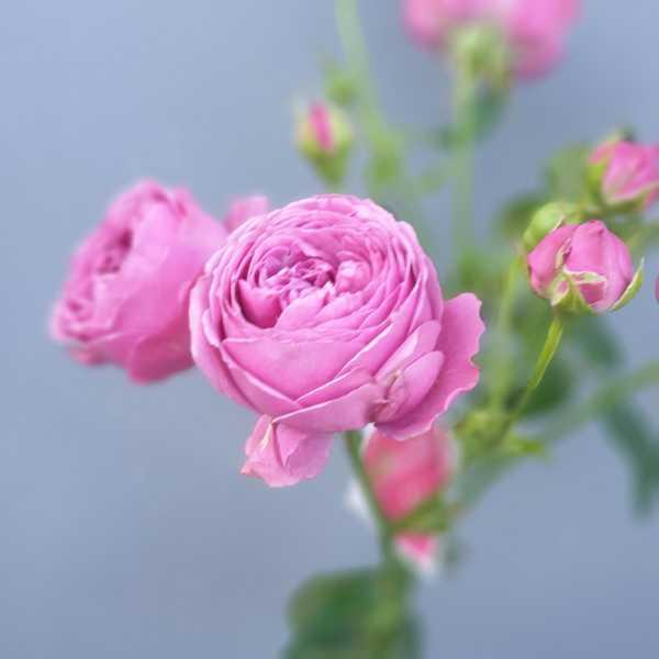 Кустовая, пионовидная роза Misty Bubbles (Мисти Баблс)