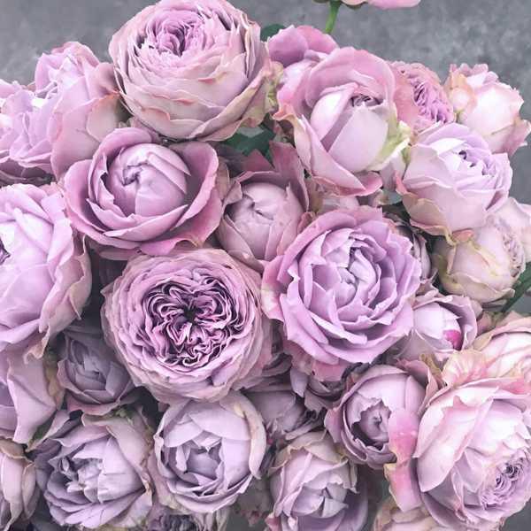 Пионовидная роза Блоссом Бабблз (Blossom bubbles)