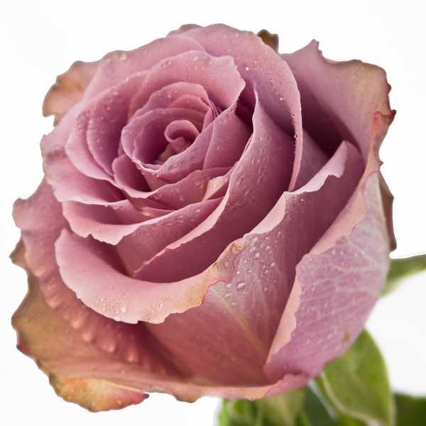 Импортная роза Grey Knights