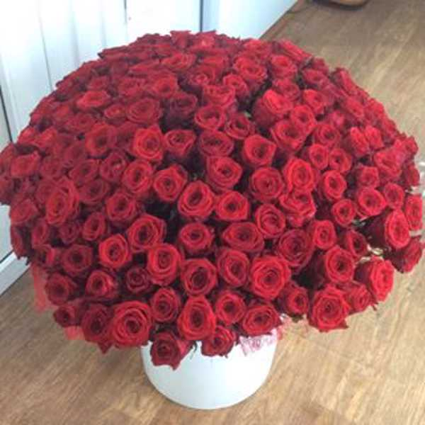 151 роза красного цвета 70 сантиметров
