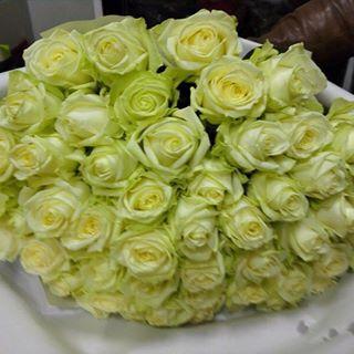 51 роза сорт Вайт Наоми