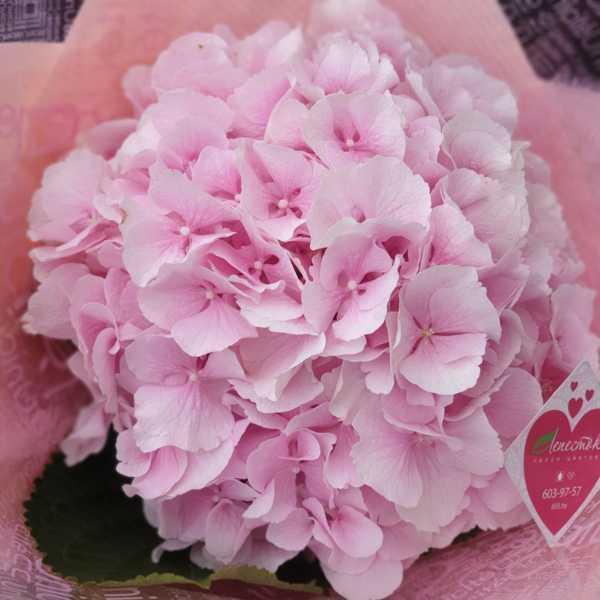 Монобукет из розовой гортензии