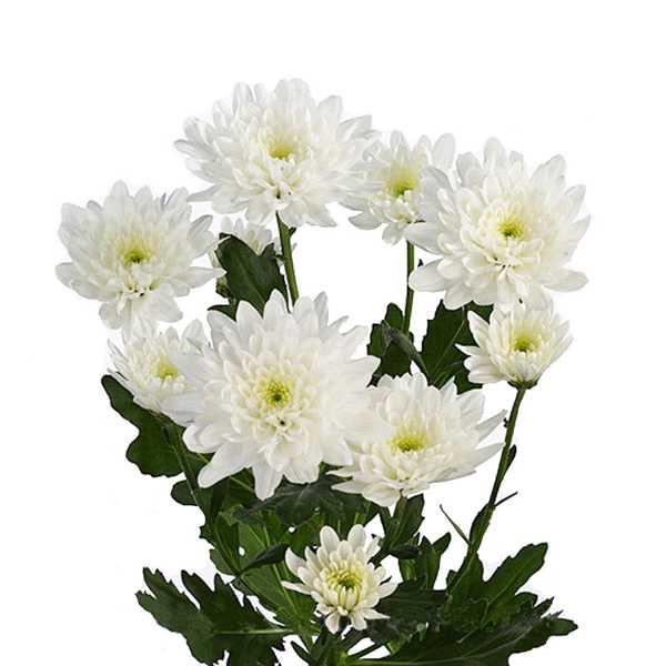 Хризантема Зембла белая