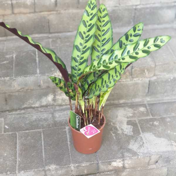 Калатея (Calathea) горшок 14 см