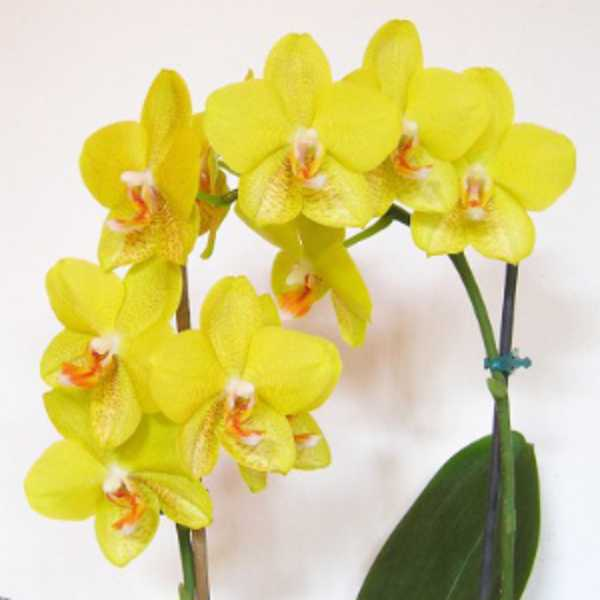 Орхидея фаленопсис один ствол домашняя